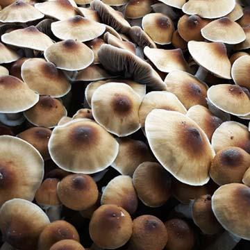 Alacabenzi Spores