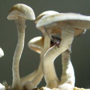 Hanoi Spores