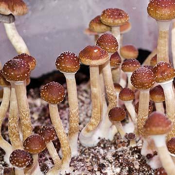 Malaysia Spores