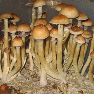 Oasis Spores
