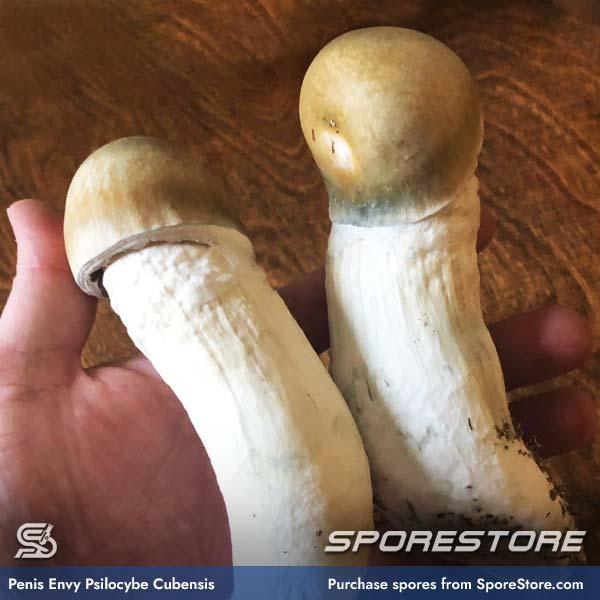 Penis Envy Spores