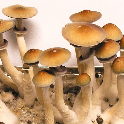 PES Hawaiian Spores