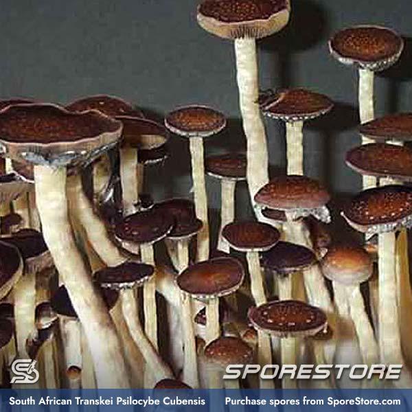 South Africa Transkei Spores